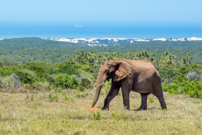 Addo Elephant National Park was proclaimed in 1931 to provide a safe haven for the few wild elephants that survived the early 20th century. <br><br>Today the elephants number in their hundreds, thanks to the efforts of the National Parks Board and a unique vegetation type - subtropical thicket, or valley bushveld. It is this thick, impenetrable vegetation that has not only provided protection for the elephants and buffalo in the area, but also provided a rich food source, supporting what is now the most dense population of wild elephants on the planet. <br><br>Our game drive concentrates on finding and viewing elephants. Buffalo, Rhino and Lion sightings of the latter are a definite bonus, while you may also be lucky enough to see dung beetles keeping the park tidy!