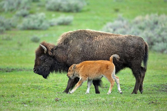Yellowstone Custom Wildlife and Nature Tour, Cody, WY, ESTADOS UNIDOS