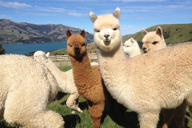 From Akaroa, this 1 hour working Alpaca Farm Tour PLUS a 3 hour local highlights sightseeing tour is great value. 2 - 4 people on a private experience of total awesome!!<br><br>Travelling in comfort with light refreshments provided while you travel, join your professional driver/guide as you experience these adorable animals.<br><br>Later take in the stunning beauty and history that is Akaroa and Bank Peninsula in our Akaroa highlights package.<br><br>You driver/guide knows all the right places to visit, many places no bus can stop or reach.<br><br>Stop for pictures whenever you want to stop and not be dictated to by a bus driver. <br><br>All my tours are very cost-effective and takes the worry out of planning and driving, so you can relax and enjoy. Perfect !!<br><br>**** More than 4/5 people in your group? Larger groups by arrangement - ask for a quote.****<br><br>A private dedicated tour with the experts.....and a proud full member of ProguidesNZ.<br>