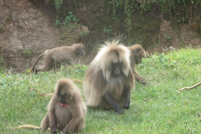 This trip is a great opportunity to see Ethiopian endemic species of Gelada<br><br>Your visit will benefit the park's effort to protect these great endemics and conserve the environment. The park is a UNESCO world heritage site and many species were once on an endangered list. <br><br>The trip also gives employment and a market opportunity for the local shop owners, markets, restaurants, guides, scouts, mule hires, and many more. Also all the accommodations throughout your trip are owned and run by the members of the local community. Your needs associated with your travel will be served by the members of the community. <br><br>As you visit the park you will stay in lodges run by the park. All the guides throughout the trip are locals who have had adequate trainings and experiences and scouts are hired from the park. Also for your trekking arrangements, we hire mules from the local farmers and purchase most of the items that are necessary for your stay from local shops. <br>