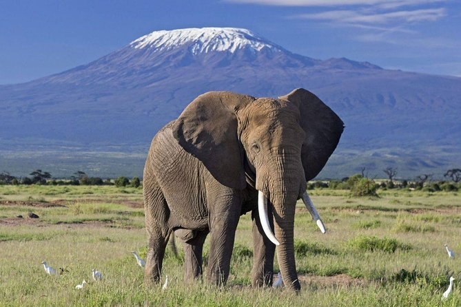 Enjoy a visit to one of the flagship national parks in Kenya. Amboseli National park signature attraction is the sight of hundreds of big-tusked elephants set against the backdrop of Africa's best views of Mt Kilimanjaro (5895m). You'll also see wildebeest and zebras, and you've a reasonable chance of spotting lions, cheetahs and hyenas. The park is also home to over 370 bird species.