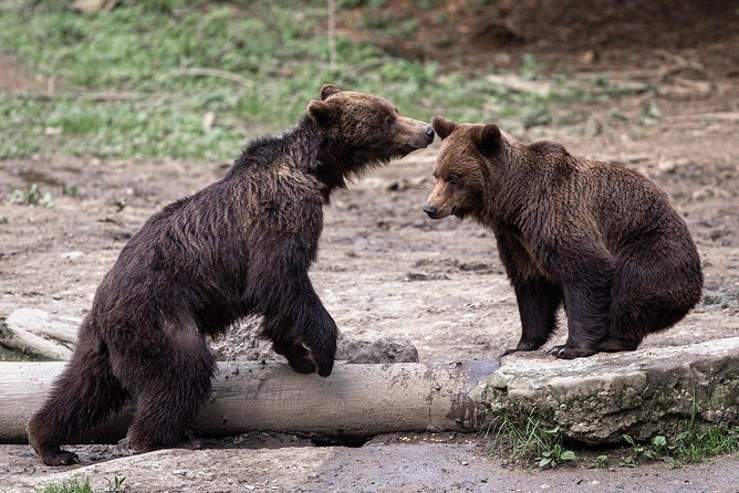 Thanks to the relatively low level of human intervention, Romania has become home to the largest brown bear population in Europe. Here, in the heart of the Carpathian mountains, you have the chance to observe these majestic animals in their natural habitat, find out interesting facts about the bear life in the wilderness and capture unique moments with your camera.<br><br>Join us for a short bear-watching adventure trip in the forests near Brașov, together with a specialized forest ranger that will answer all your questions.<br><br>What makes the tour with us different is that we will teach you about bears life, winter habits, diet and mating. We strongly believe this is a great opportunity to learn, apart from taking amazing pictures.