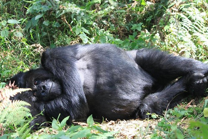 Rwanda Gorilla trekking Adventure is well designed to show you unparalleled hills of land of 1000 hills and to let you meet mountain gorilla face to face. it is also designed for those who have limited time in Rwanda but do not want to miss sense of the greenest country in Africa. it will take you through to beautiful villages travelling to trek the gorilla. you will be amazed by many things such as freshness of country, a warmly welcome , uniqueness of volcanoes national park where you will have chance to spend an hour with taking photos.