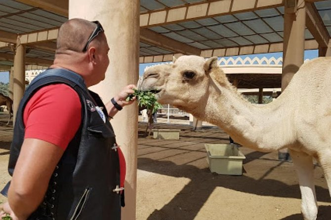 A trip to the Royal Camel Farm is best enjoyed as part of a day tour of Bahrain's main attractions..