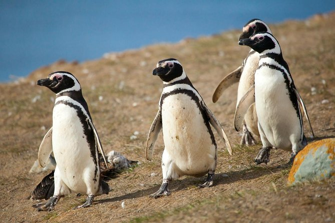 Experience a unique trip to a particular penguin Colony located in Isla Magdalena. The island is located in the centre of the Strait of Magellan, north of Punta Arenas and it hosts one of the largest Magellan Penguin colonies in Chile, exceeding 150,000 specimens. <br><br>Cross the waters of the mythical Strait for approximately 2 hours. If you are lucky, you will discover the 'Australes' Dolphins and Commerson's dolphins swimming in the waters. Disembark on the island and take a walk interacting with hundreds of penguins that will appear while you walk, also, don't miss the opportunity to get to the particular white and red Lighthouse that is located in the same place. The time of stay on the island is one hour, and after that, you will return to Puntas Arenas pier.<br><br>
