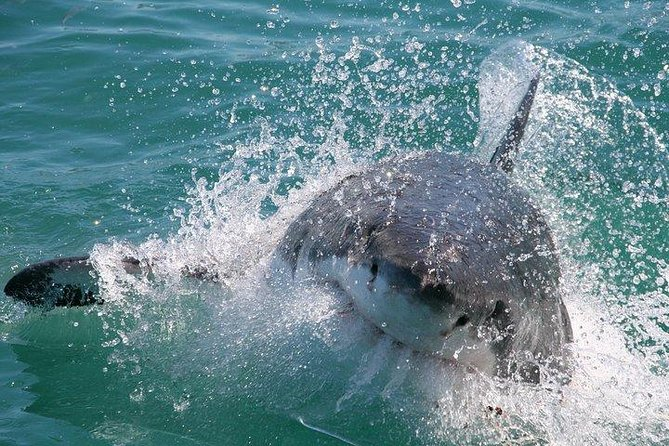 You may think you're a fear-defying thrill lover, but can you handle the ultimate heart-pounding experience? Find out in Cape Town by cage diving with great white sharks. This full-day shark-diving experience takes you out into the open ocean off the shore of Gansbaai and puts you within touching distance of one of the world's most feared predators. Before jumping in, you'll learn about the sharks from the onboard marine biologist and expert guides. Breakfast, snacks and hotel-pick up and drop off are included.