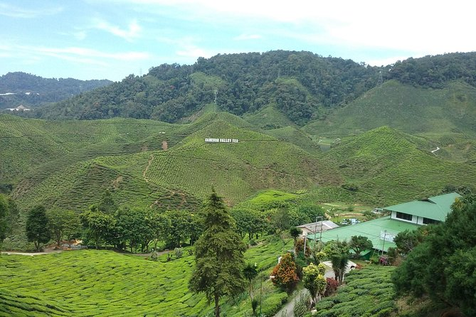 This countryside tour is a guided 3.5-hour, free and easy trip to the wonderful and famous hill station in Cameron Highlands. Visit many of the Highlands' spots such as the Rose Valley, BOH, Sungei Palas Tea plantation, and stop at a viewpoint over the 'Giant Green carpet of Malaysia'. You'll also tour one of the oldest tea factories in Malaysia, visit a strawberry farm, as well as the Butterfly Garden. Complete your journey with a visit to the Sam Poh Buddhist Temple, all this and more during this small-group tour of no more than 7, with a choice of morning or afternoon departure.