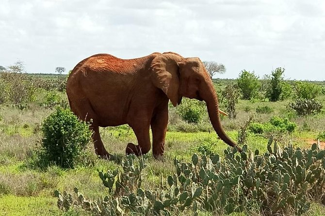 Tsavo East National Park is one of the oldest and largest parks in Kenya at 13,747 square kilometers. Situated in a semi-arid area previously known as the Taru Desert it opened in April 1948, and is located near the town of Voi in the Taita-Taveta County.