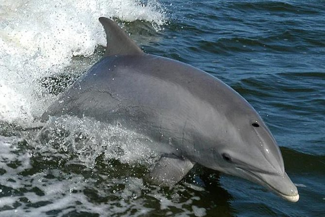 On our one-and-a-half-hour dolphin cruise, you'll get an up-close view of our resident dolphin pod. Between 50 and 70 dolphins reside together in our bay, and by paying close attention to them over the years, we have named many of them. We know them by their unique dorsal fins and will introduce you to our water-loving friends when you cruise with us aboard the Explorer. <br><br>The Explorer allows us to get as close as safely possible to the banks and the local marine and wildlife. Because the boat only needs 16 to 18 inches of water underneath, we can sneak into creeks and swamps where few other boats can go, providing you with a truly unique and memorable experience.<br><br>Perfect for families or those just wanting a Dolphin-specific cruise in Orange Beach. Our expert guides can identify many of the resident dolphins and share fun facts about their behaviors, their habitat, and their relationships within the pod.<br><br>