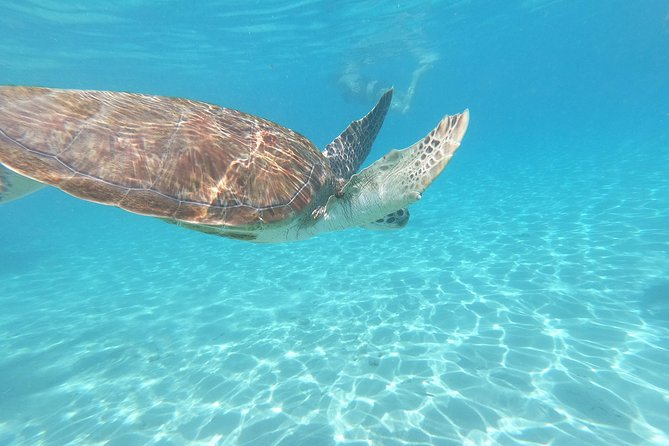 Our aim is to professionally accommodate our guests, go the extra mile and be the highlight when visiting Curaçao. Just bring your camera, swimwear and vacation mood and we will take care of all the rest during your Tour with us.<br><br>Let us take you on a unique Tour snorkeling with Turtles. Grab this chance to experience these beautiful creatures up-close. And after enjoying the sea turtles, we will take you for a quick stop at the Flamingo Sanctuary, where you can admire these Pink Beauties in their natural habitat. <br><br>Tour start time 9:00am or 2:00pm<br><br>Turtle beach is a regular beach where you can simply enjoy yourself. <br>Participants are not obliged to swim with turtles. There is a pier where you can see the turtles swim beneath you. So entering the water is not a must.