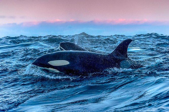 Whale Research Safari and Lyngen Alps Bus Tour, Tromso, NORUEGA