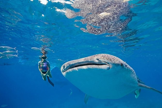 It's a combination tour in one day, as you get to experience swimming with gentle giants Whaleshark and get to see on of the most famous falls in the country.