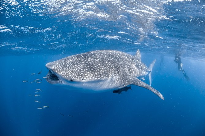 Swimming alongside the biggest fish in the world is simply an incredible encounter you will always remember. We use a dedicated spotter plane to guide our vessels to the whale shark enabling us to maximise our success rate.