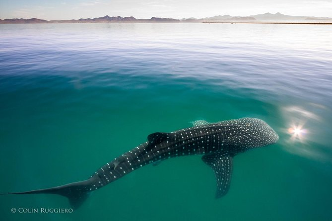 Swimming with Whale Sharks in the Sea of Cortez, Todos Santos, MÉXICO