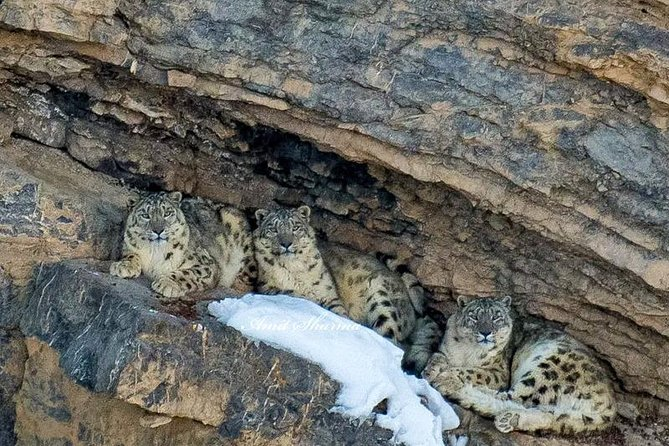 Spiti Snow Leopard Trail: Wildlife spotting in Kibber wildlife sanctuary<br><br>Spot and photograph vulnerable species like snow leopard, learn to survive in sub-zero temperature of the Spiti valley, meet local people, visit monasteries and meet monks. <br><br>Itinerary<br><br>Day #1: Shimla – Sarahan Sarahan Altitude 2100m Distance covered 180 km. Drive Duration: 7 hours <br>Day #2: Sarahan – Kalpa Kalpa Altitude 3000m. Distance 85km. Drive Duration; 5-6 hours(Overnight at hotel).<br>Day #3 Kalpa – Kibber Kibber altitude 4270m. Drive duration: 7 – 8 hours<br>Day #4: Rest day at Kibber. Explore Kibber village and Kibber wildlife sanctuary.<br>Day 5,6,7: Hiking and following the elusive snow leopard, red fox and blue sheep around Kibber wildlife sanctuary.<br>Day #8: Kibber – Reckong Peo<br>Day #10: Reckong Peo – Shimla