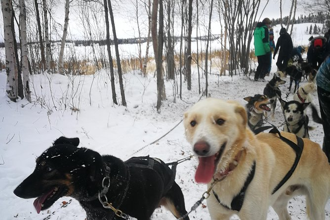 A fun Winter Activity, Dog Sledding!<br>One of the fun things to do in Yellowknife, Northwest Territories, Dog Sledding! This is a Quality tour with Northern experience and warm hospitality. Meet a team of friendly dogs. Feel the energy of your dog team while they pull you through snow filled trails in between of a fresh and beautiful nature. Dog Sledding Tour includes Dog Sled, bannock and tea in the cabin, with storytelling and sharing of history, traditions and fur display. Focusing on Indigenous history, traditions in a non-rushed tour. Feel free to click pictures with your dog team or with your favourite dog.