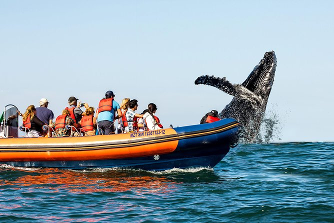 On winter season, the gentlest giants of the<br>ocean - the humpback whales, come to<br>Mazatlán.<br>In this tour you will enjoy a fun ride along the bay<br>in which you may find: dolphins, turtles, sea<br>lions, manta rays and endless marine life. We are<br>sure this adventure will be the highlight of your<br>holidays.<br>Guided by passionate sea experts and on board of a high-speed semi-rigid boat, both adults and children will have an amazing experience in the most comfortable and safe way. Our team is unique in the region and our sea craft is internationally certified so that you can enjoy yourself to the fullest.<br>Do not forget your camera, you will live many moments that for sure you will want to capture!