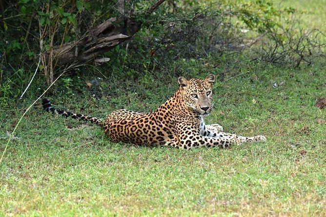 Yala National Park is situated in the south-east region of Sri Lanka and is the 2nd largest National Park in the island, situated some 300 km away from Colombo. The parkland makes up most of the reserve but also includes lakes, beaches, jungle, rivers and scrubland. This variety in habitats provides an excellent range in wildlife. About 32 species of mammals, 125 species of birds and many reptiles and lagoon fauna species have been recorded in the park.