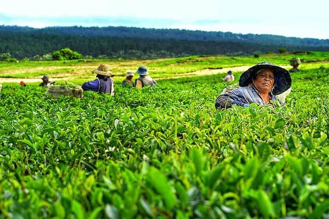This is a private full day tour in the South East region of Mauritius themed around scenic and historical views combined with the wild untouched side of the island.<br><br>Following a pickup from your accommodation, drive along the tea route to make a first stop at Bois Cheri tea factory for a guided tour to learn more about tea production. Enjoy a complimentary tea tasting session at the tea estate's uphill restaurant that overlooks a natural lake.<br><br>Next, head to La Vanille Nature Reserve for a close encounter with giant tortoises and Nile crocodiles before making another stop at a former sugarcane plantation estate at Saint Aubin. A magnificent colonial house sits in that estate surrounded by a tropical garden and its adjacent rum distillery and farm. Sample local rums produced in the distillery and enjoy fruits from the farm.<br><br>End the tour with a stop to Gris Gris coastline at the very south end of Mauritius to catch a great view of the Indian Ocean .