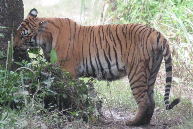 This is a great tour with local expertise, who have desire to see big cats ( Bengal Tiger) in wild, they are welcome to do this tour.<br>Our local guide will share his experience to find big cats in the wild, it is not easy. This tour will be the chalenging one.<br>Walking on the flat landscape with dense jungle, wildlife around will be the unforgettable memory in lifetime. <br>And at the last day explore national park with jeep. It covers wide area of the national park. Takes deeper and deepar core area of the park.