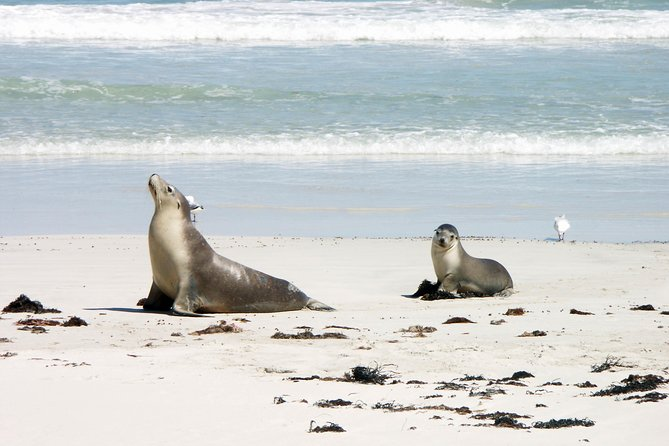 Explore Kangaroo Island in comfort with Bums on Seats Tours. See wildlife you wouldn't see on the mainland, amazing landscapes and rock formations, national parks and island villages. Personal and relaxed guided tour - there's no rushing here.