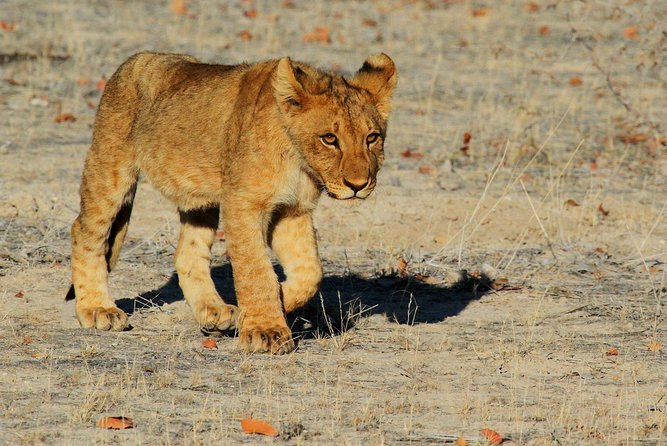 On this 2 Days camping Wildlife Safari clients can expect to enjoy them self with Game Drives in Etosha National Park on the game drives clients will be able to see animals like Elephants, Hippo, Giraffe and Lions. Enjoy the wonderful view of the tall necks of Giraffes slowly moving in front of the red shimmer of the setting sun. All meals will be prepared by our tour-guideas included in the Itineraryand we will provide all camping equipment including tents, pillows, and all utensils. Soall you need is your luggage and we good to go!