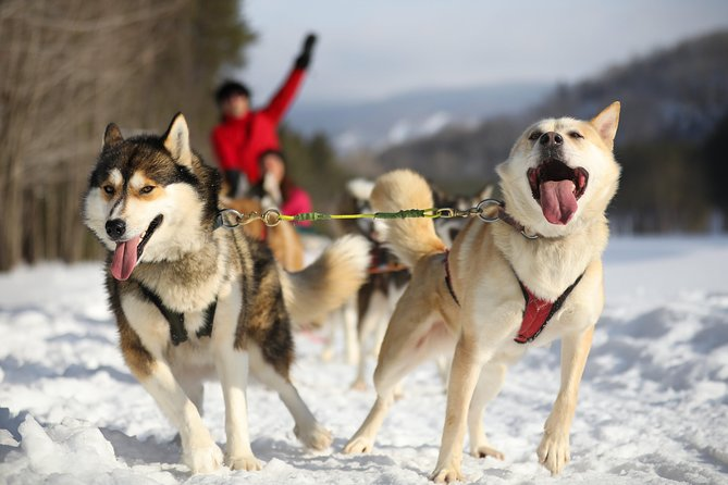 Enjoy a truly Canadian experience of driving your own dogsled through the Laurentian wilderness. From the moment you arrive at the kennel, you are greeted by the sound of the sled dogs who are eagerly awaiting to run! Along with your guide, you will meet your team before setting out on about a 1-hour long ride through forest and field trails and over hilly terrain with your dogs. Participants can drive their own sled, or ride as a passenger and switch places at the mid-point. Hot-chocolate will be served to help you warm up and give you a chance to chat with your guides.