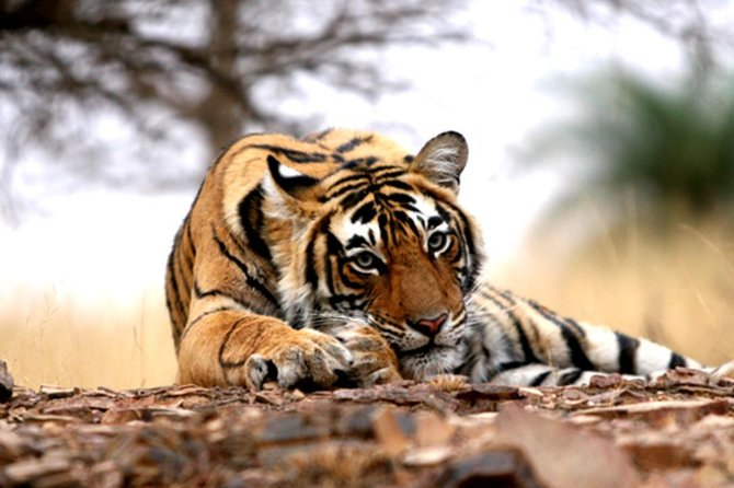 Planning a visit to Ranthambore national park its great to Plan with overnight plan by starting Jaipur and coming back Jaipur after doing 2 Jeep / Cantar Safari at Ranthambore national park making your Rajasthan Trip Worth.