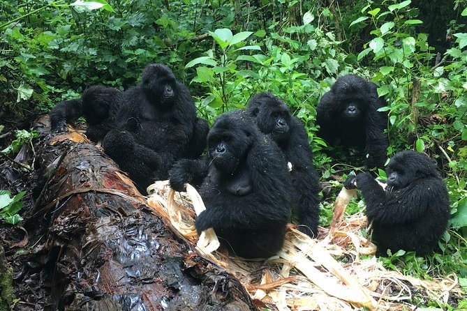 7 Days 2 times gorilla trekking and Nyiragongo hike in Virunga is an amazing lengthly package in DRCongo with exciting activities that you will engage in. This package takes you home to the moutain gorilla in Virunga National Park