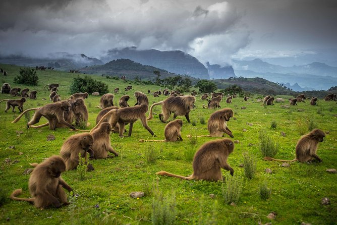 This program offers tough but immensely rewarding trekking along the ridge that falls sheer to the plains far below. It's not just the scenery (and altitude) that will leave you speechless, but also the excitement of sitting among a group of gelada monkeys, or watching magnificent walia ibex joust on rock ledges.