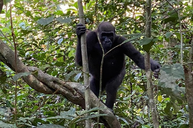 This tour will give the opportunity to see western lowland gorilla, elephants, hippos and others in Loango National Park.