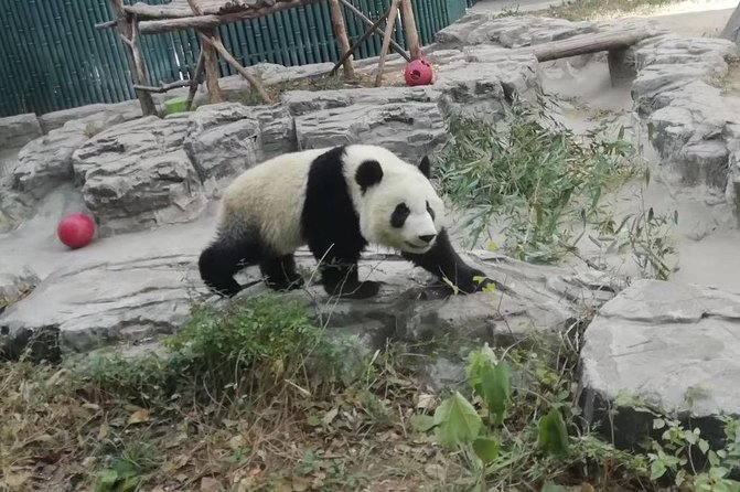 MÁS FOTOS, Private Chengdu Panda Base Day Tour by Round-way Flight from Shenzhen