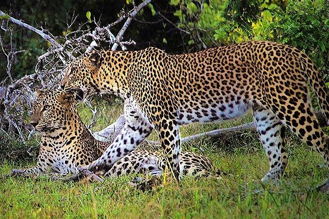 Wilpattu National Park is the best park to spot leopards in the world! The park situated in the dry zone is Sri Lanka's largest and have elephants and bears roaming in it. You might also want to watch a peacock dance as well and how these big birds can fly up quickly.