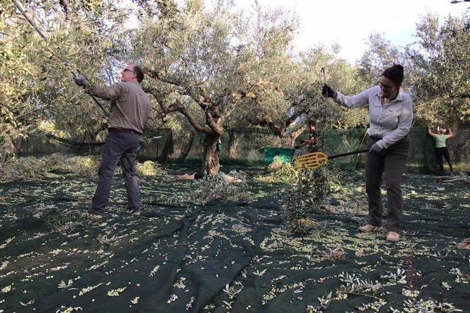 Olive harvesting, walking in olive groves & light lunch in Messinia, Greece!, Kalamata, GRECIA