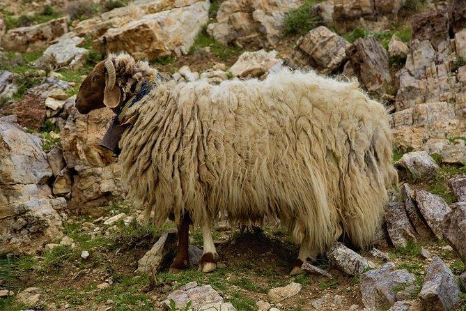 Learn How to herd sheep in Madaba, Madaba, JORDANIA