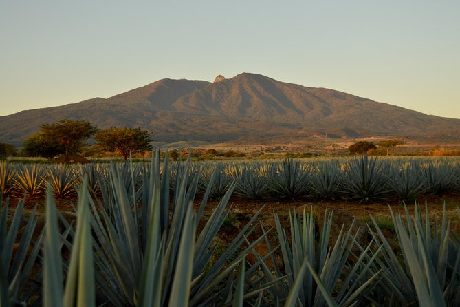 Live the experience in the magic village of Tequila on this half-day cultural tour from Guadalajara. You will get to harvest the fields of agave, taste tequila at a distillery and learn all about this famous drink.