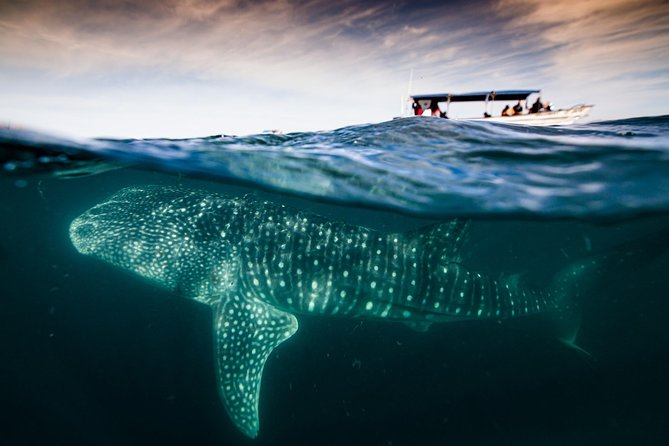 Live a truly experience of a lifetime on small groups of 5-7 people maximum (regular tours take around 15 people per boat), avoiding big crowds and long waitings prior to swim with whale sharks.<br><br>Just a few minutes away from the city of La Paz, you will search, see and swim with one or various whale sharks, guided by a local marine biologist which will introduce you to the specifics of the species and also record with a gopro pictures and videos of the tour, which we will send to you digitally 2 days after the tour day.<br><br>The duration is aproximate 2-2.5 hours, this depends on how far or close we find the whale sharks. Please note that during high season (Thanks giving, Christmas and Spring Break) there can be a waiting line in order to enter the whale shark area of aprox 1-2 hours.