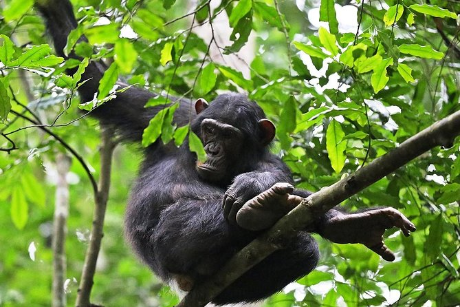 Chimpanzees are among our closest relatives, sharing up to 98% of our DNA. Take this unique experience to spend a few hours or take an all-day trek, and there's no telling where the chimpanzees will lead you. It is a fascinating experience for primate enthusiasts.