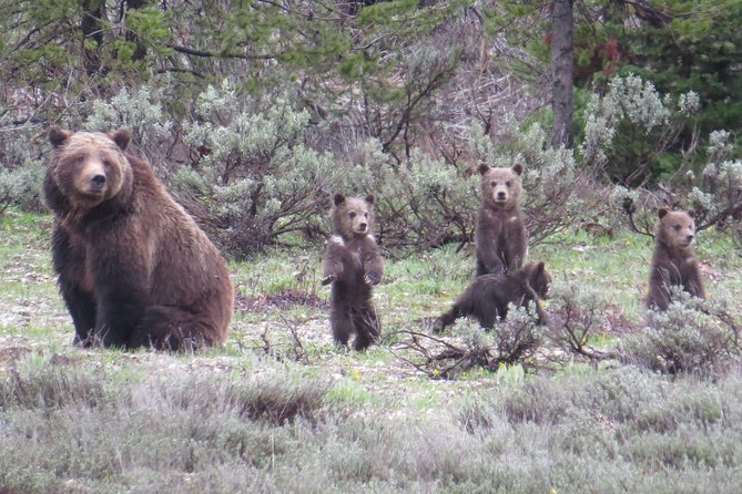 Explore Yellowstone on a 12-13 hour tour with a local guide. Set out FROM JACKSON HOLE, WY area to experience America's first national park. See its iconic Old Faithful, marvel at the Grand Canyon Waterfalls, and search for wildlife including grizzlies, bison, grey wolves, and more. This tour includes both a light breakfast, lunch and park entrance fees, as well as the use of binoculars.