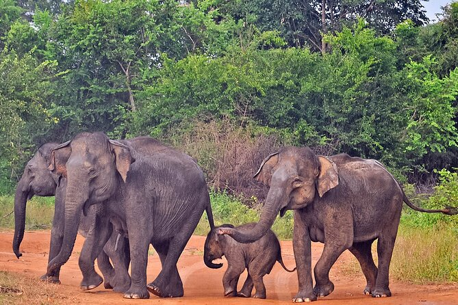 (SKU: LK60031600) Enter the Land of Elephants as you go on a 3-hour Udawalawe National Park Safari! Search for sightings of the giants of the animal world in the plains and grasslands of this Sri Lankan National Park. Explore the Udawalawe Reserve for a glimpse into the lives of the local wildlife. Get your birdwatching binoculars ready to catch sight of a number of endemic and migratory birds. If you are a butterfly enthusiast, know that the park is a haven for you too. This is a 3-hour break in a wonderland of wildlife!