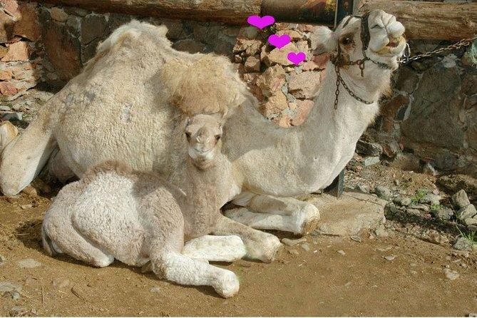 Paseo en camello en Fataga con barbacoa, Gran Canaria, ESPAÑA