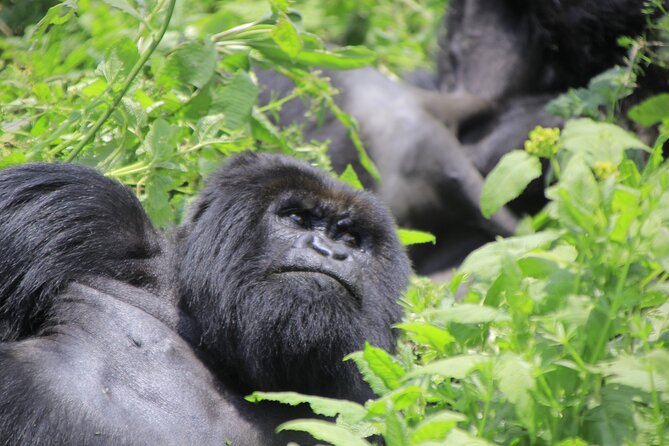 Are you looking for the most exceptional adventures that will reward you with lifetime experiences while on safari in Africa? When it comes to Africa safaris, mountain gorilla trekking with Kwafrika Travel Ltd in the Democratic Republic of Cong (DRC) has got it all for you to make your dreams come true! Listed as the most critically endangered apes in the world by IUCN, the rare mountain gorillas are fewer than 900 in the whole world and a glimpse at these unique creatures is such a dramatic experience and it comes once in a lifetime.<br><br>People are equally struck by the tenderness and care that mothers show their young. And then, of course, there are the juveniles who spend most of every waking hour at play and never cease to make visitors smile. We believe your time with Virunga's mountain gorillas will leave your feeling changed for the better. All treks are led by park rangers.<br>