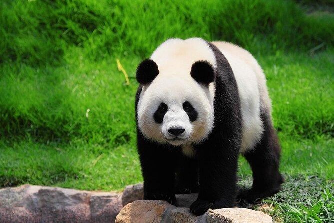 MÁS FOTOS, 630 USD Per Group 2-Days Chengdu Panda Base+Dazu Rock Carvings Private Tour