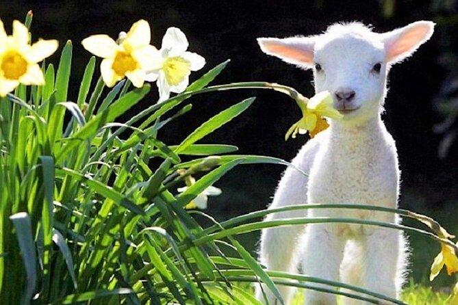 Christchurch Sheep Farm Visit, Christchurch, NUEVA ZELANDIA