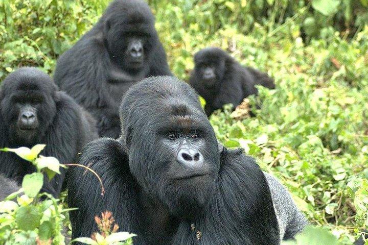 9 Best of Uganda gorilla and wildlife safari, Kampala, UGANDA