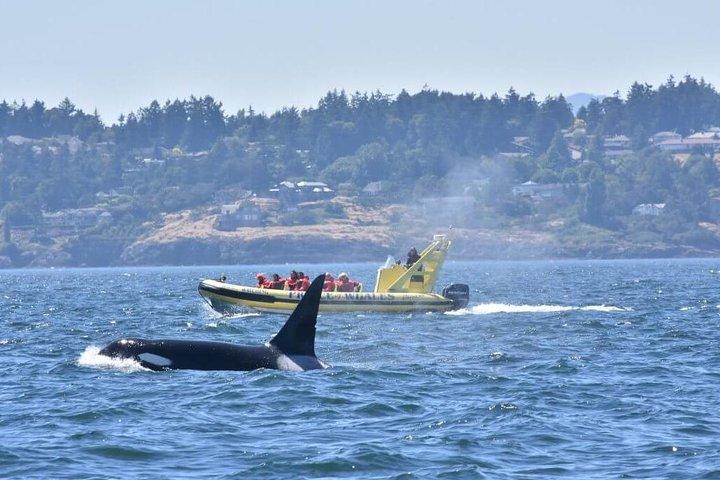 Zodiac Whale Watching Adventure from Victoria, Isla de Vancouver, CANADA