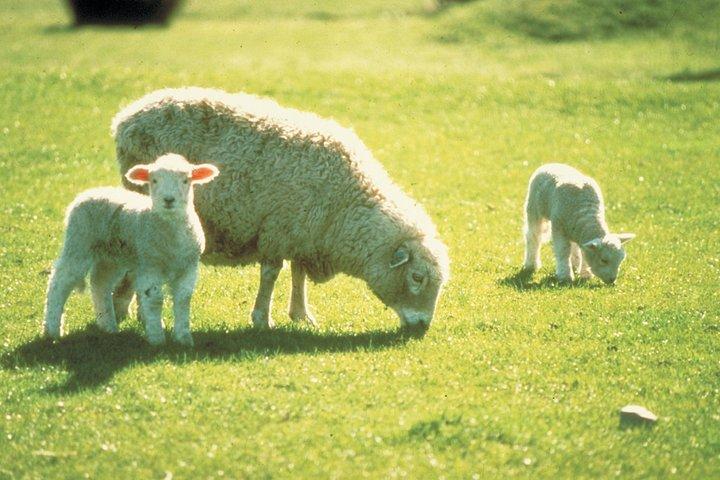 Akaroa Shore Excursion: Banks Peninsula, Christchurch City Tour and Sheep Farm Tour, Akaroa, NUEVA ZELANDIA