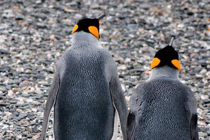 Walking among penguins at Martillo Island Penguin Rookery, Ushuaia, ARGENTINA