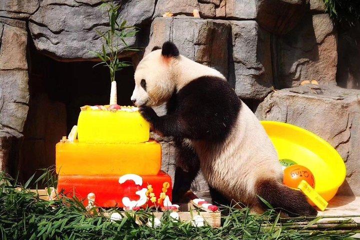 Chengdu Giant Panda Breeding Research Base and Private Tour of Sanxingdui Museum, Chengdu, CHINA