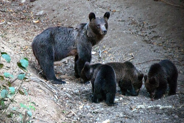 Brown Bears in the wild, no fence - TRANSFER INCLUDED, Brasov, RUMANIA